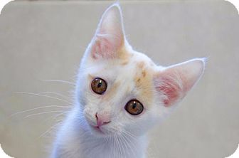 Domestic Shorthair Cat for adoption in Rossville, Tennessee - Dyno