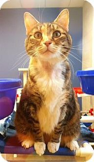 Domestic Shorthair Cat for adoption in Reno, Nevada - Amber @Petsmart