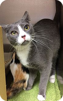 Domestic Shorthair Cat for adoption in Lake Elsinore, California - DaVinci