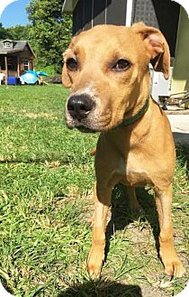 Labrador Retriever/Boxer Mix Puppy for adoption in Boca Raton, Florida - Sandy