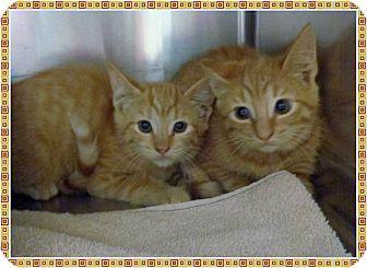 Domestic Mediumhair Kitten for adoption in Marietta, Georgia - LISA & MARIE (R)