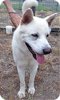 Akita Dog for adoption in Brattleboro, Vermont - Big Man ~ ADOPTED!
