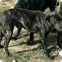 Adopt A Pet :: Bella - Hillsboro, OH