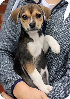Beagle Mix Puppy for adoption in Harrison, New York - Bugsy