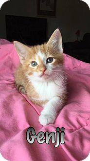 Domestic Shorthair Kitten for adoption in Evansville, Indiana - Genji