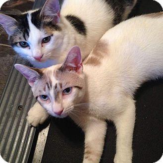 Siamese Kitten for adoption in Virginia Beach, Virginia - Ben