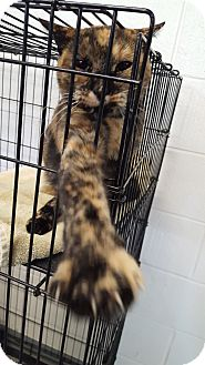Domestic Shorthair Cat for adoption in Fort Riley, Kansas - Penny