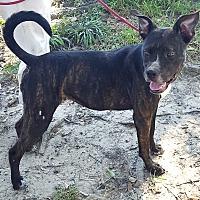 Boxer Mix Dog for adoption in Houston, Texas - Sophie