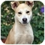Photo 1 - Shiba Inu/Basenji Mix Dog for adoption in West Los Angeles, California - Vern