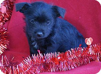 Cockapoo Mix Puppy for adoption in Torrance, California - NICHOLAS