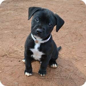 Labrador Retriever Mix Puppy for adoption in Athens, Georgia - Cupid