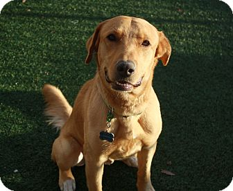 Golden Retriever/Labrador Retriever Mix Dog for adoption in Phoenix, Arizona - Bogey