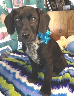 Spaniel (Unknown Type)/Labrador Retriever Mix Puppy for adoption in Greenville, Rhode Island - Mitch-Urgent