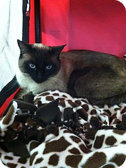 Siamese Cat for adoption in Chesterfield Township, Michigan - Sapphire
