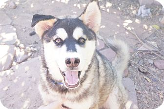 Siberian Husky/Alaskan Malamute Mix Puppy for adoption in Gilbert, Arizona - Koda