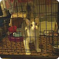 Domestic Mediumhair Kitten for adoption in Miami, Florida - Cherokee
