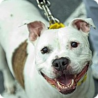 Adopt A Pet :: Sheba - Hillsborough, NJ