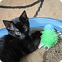Adopt A Pet :: Licorice - Kirkwood, DE