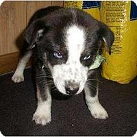 Adopt A Pet :: Huskie mixes - Alliance, NE