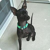 Adopt A Pet :: Indie - Gig Harbor, WA