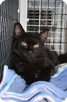 Domestic Shorthair Cat for adoption in West Hills, California - Charlie
