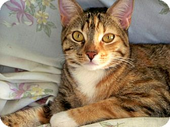 Bengal Cat for adoption in Vista, California - Roxanne
