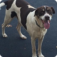 Labrador Retriever Mix Dog for adoption in Franklin, Tennessee - Trace