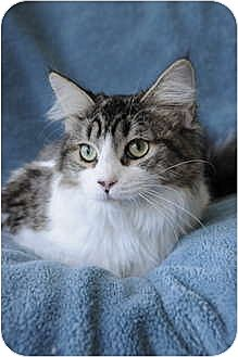 Maine Coon Cat for adoption in Columbus, Ohio - Daisy