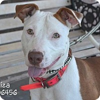 Pit Bull Terrier Mix Dog for adoption in Conroe, Texas - Eliza
