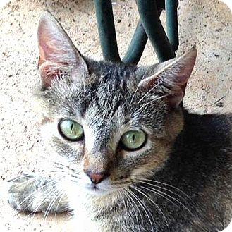 Domestic Shorthair Cat for adoption in Williston Park, New York - Sadie Bell