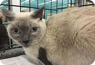 Siamese Cat for adoption in Merrifield, Virginia - Blu