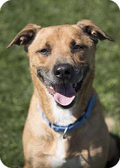Rhodesian Ridgeback/Boxer Mix Dog for adoption in Palm Springs, California - SIMON