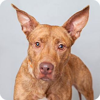 American Staffordshire Terrier/Pharaoh Hound Mix Dog for adoption in Mission Hills, California - Yoyo