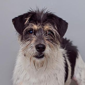Fox Terrier (Wirehaired) Mix Dog for adoption in Mission Hills, California - Domineo