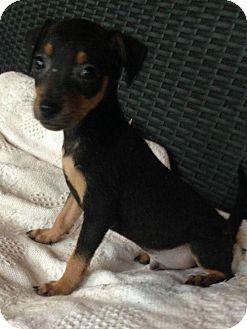 Rat Terrier Mix Puppy for adoption in Allentown, Pennsylvania - Samson