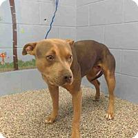 Adopt A Pet :: URGENT on 10/21 SAN BERNARDINO - San Bernardino, CA