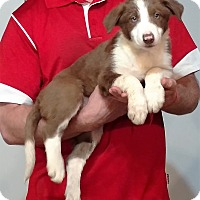 Adopt A Pet :: Snickers - Gahanna, OH