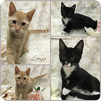 Domestic Shorthair Kitten for adoption in Joliet, Illinois - Leona
