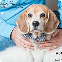 Adopt A Pet :: Sam the Beagle - Fort Lauderdale, FL