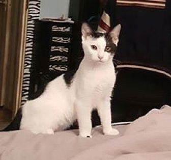 Domestic Shorthair Kitten for adoption in North Haledon, New Jersey - Frankie