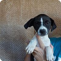 Adopt A Pet :: Havana - Oviedo, FL