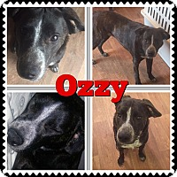 Adopt A Pet :: Ozzy - waterbury, CT