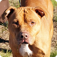 Adopt A Pet :: Sage - Maynardville, TN