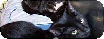 Domestic Shorthair Cat for adoption in Stuarts Draft, Virginia - Majik