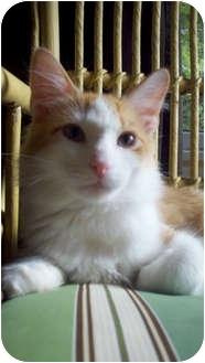 Domestic Longhair Kitten for adoption in Chicago, Illinois - Mason