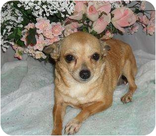 Chihuahua Dog for adoption in Chandlersville, Ohio - Peanut