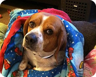 Beagle Dog for adoption in Portland, Oregon - Ripley