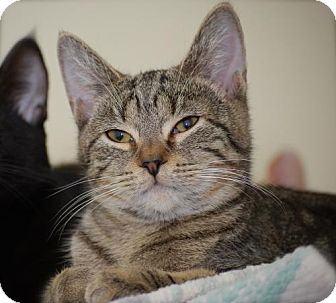 Domestic Shorthair Cat for adoption in Bensalem, Pennsylvania - Dory