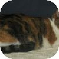 Domestic Shorthair Cat for adoption in Powell, Ohio - Chloe