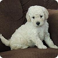 Adopt A Pet :: Boomer - La Habra Heights, CA